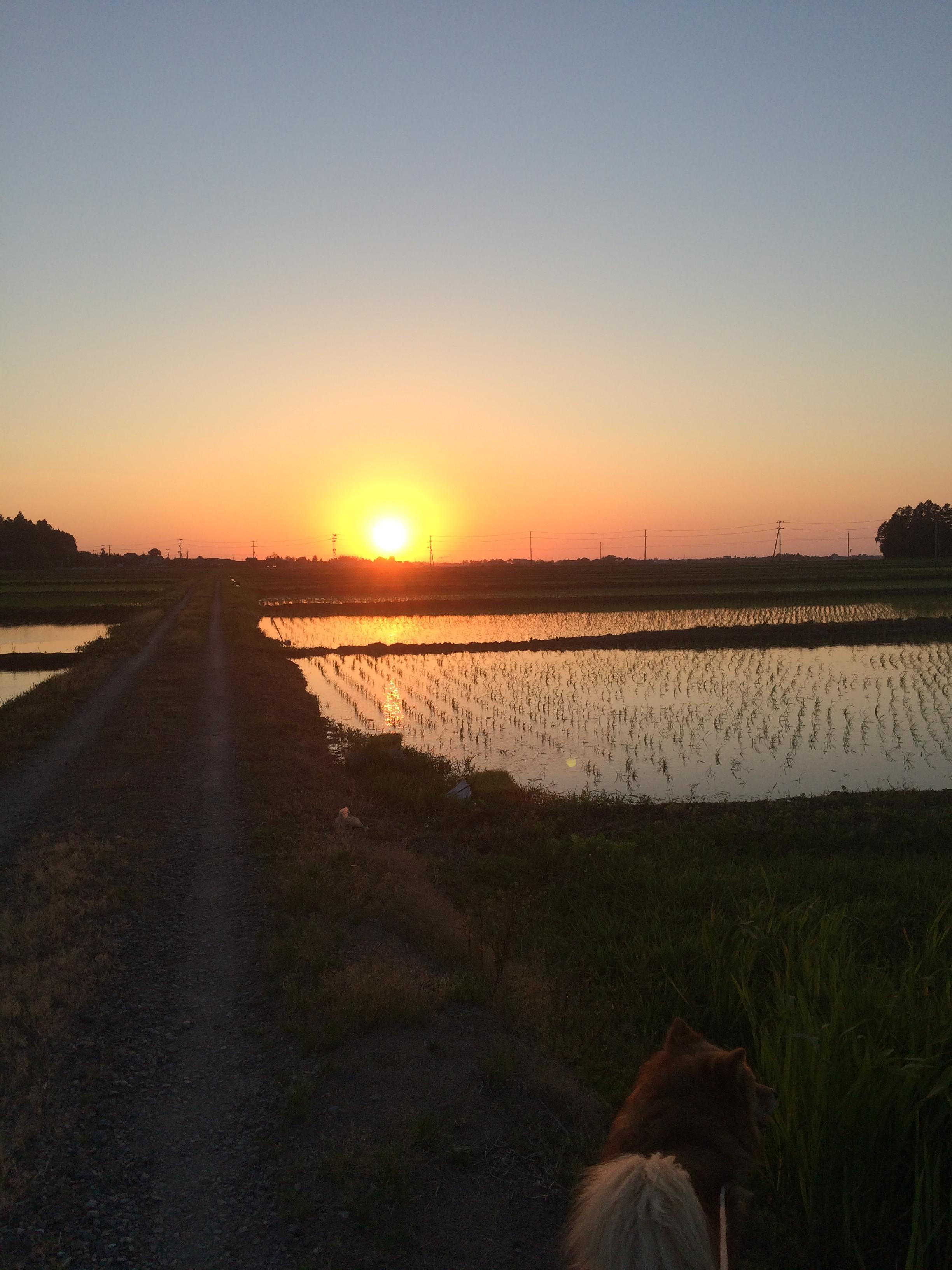 近くの田んぼの夕日